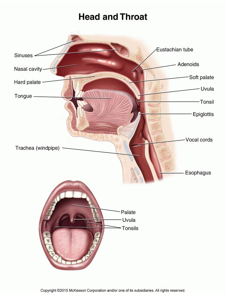 Head and Throat: Illustration